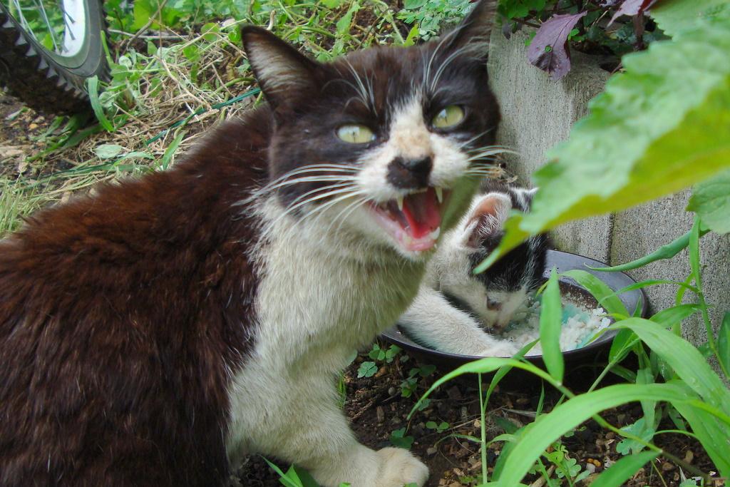 食事中の威嚇する猫