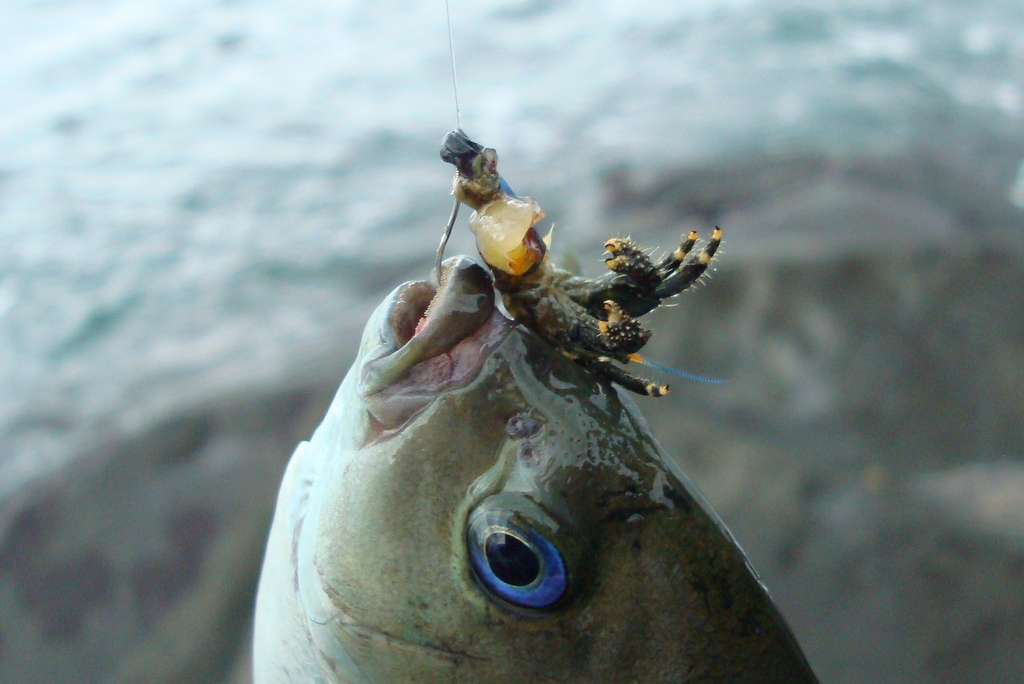 703_8 メジナがヤドカリ餌で釣れる。ここはうねりでサラシが出来ていて、下にメジナがいても不思