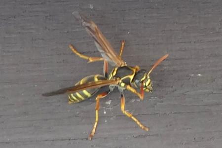 刺され た アシナガバチ